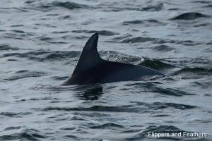 Dolphin Explorer 1