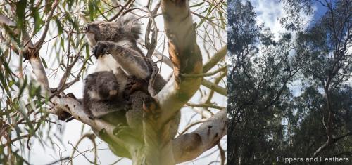 fnf-koalas